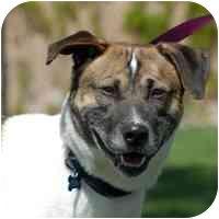Harrier Mix Dog for adoption in Denver, Colorado - Chico