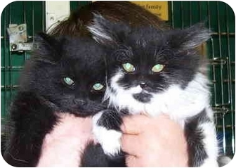 Domestic Longhair Kitten for adoption in Somerset, Pennsylvania - Gena-Griff