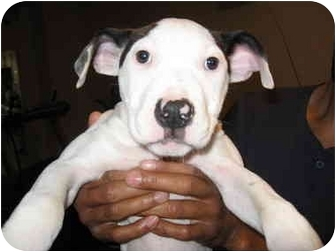 Bull Terrier/American Pit Bull Terrier Mix Puppy for adoption in Reisterstown, Maryland - Polly