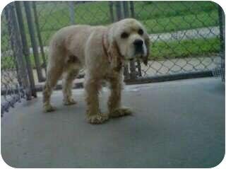 Cocker Spaniel/Spaniel (Unknown Type) Mix Dog for adoption in Alliance, Ohio - Dipper - Cocker Spaniel