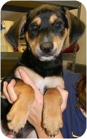 German Shepherd Dog/Labrador Retriever Mix Puppy for adoption in Hammonton, New Jersey - Baxter, Benson & Bronson
