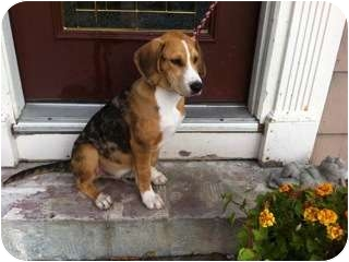 Beagle Mix Dog for adoption in Paintsville, Kentucky - Wesley
