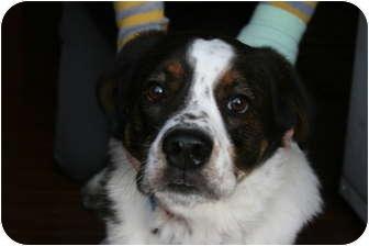 St. Bernard/Springer Spaniel Mix Dog for adoption in Lewisville, Indiana - Santos