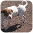Photo 2 - American Bulldog/Boxer Mix Dog for adoption in Islip, New York - Heidi