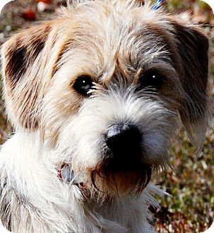 Wheaten Terrier/Beagle Mix Dog for adoption in Wakefield, Rhode Island - RUGER(SO SCRUFFY-SO CUTE!!