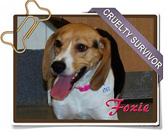Beagle Dog for adoption in Portland, Oregon - Foxie