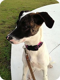 Whippet Mix Puppy for adoption in Miami, Florida - Gala