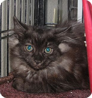 Maine Coon Kitten for adoption in Bulverde, Texas - Nolan