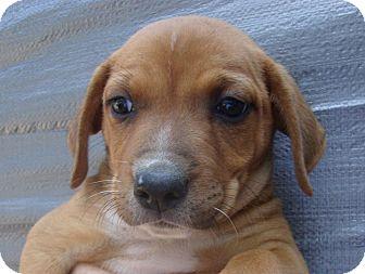 Shepherd (Unknown Type)/Labrador Retriever Mix Puppy for adoption in Coudersport, Pennsylvania - MASON