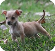 Miniature Schnauzer/Chihuahua Mix Puppy for adoption in Hagerstown, Maryland - Kali