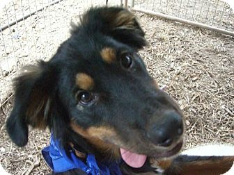 Border Collie/Shepherd (Unknown Type) Mix Puppy for adoption in Fair Oaks Ranch, Texas - Harley pup