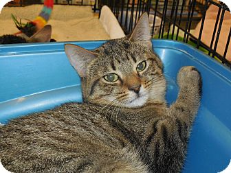 Domestic Shorthair Kitten for adoption in Whiting, Indiana - Lana