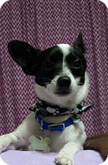 Chihuahua Mix Puppy for adoption in San Diego, California - Zeek