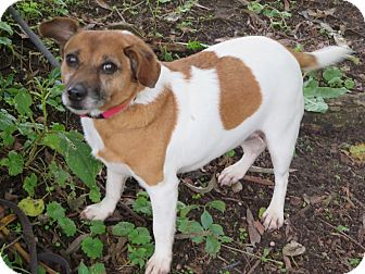 Jack Russell Terrier Mix Dog for adoption in Elizabeth City, North Carolina - Chyna  SOS