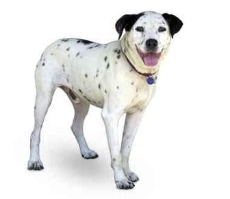Dalmatian/Labrador Retriever Mix Dog for adoption in Marina del Rey, California - Rudy