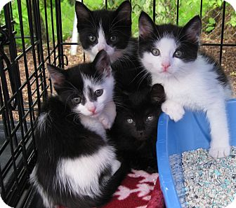 Domestic Shorthair Kitten for adoption in Randolph, New Jersey - Mike, Molly, Maddie and Maggie