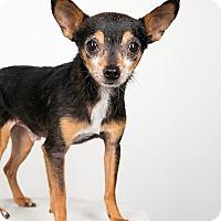 Adopt A Pet :: Spencer- 4 lbs of Perfection! - Redondo Beach, CA