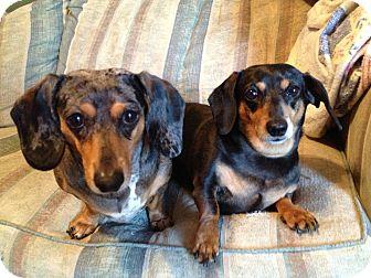 Dachshund Mix Dog for adoption in Buffalo, Wyoming - Nike
