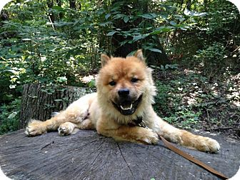 Chow Chow/Sheltie, Shetland Sheepdog Mix Dog for adoption in Memphis, Tennessee - Lionel