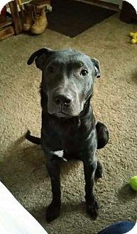 Labrador Retriever/Great Dane Mix Puppy for adoption in Middletown, Ohio - Ozzy