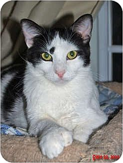 Domestic Shorthair Cat for adoption in Encino, California - MILO