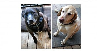 Labrador Retriever Dog for adoption in Asheville, North Carolina - Mollie and Zuni (Courtesy)