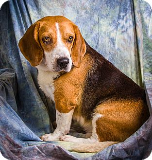 Beagle Mix Dog for adoption in Anna, Illinois - WILEY