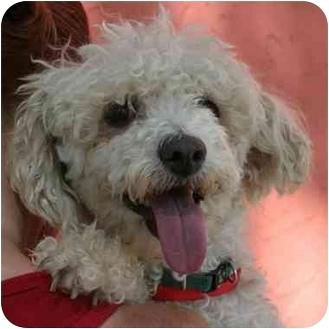 Poodle (Miniature) Mix Dog for adoption in Denver, Colorado - Lambchop