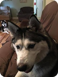 Siberian Husky Mix Dog for adoption in Shingleton, Michigan - Stormie
