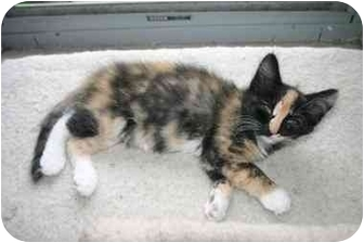 Domestic Longhair Kitten for adoption in Owatonna, Minnesota - Blaze