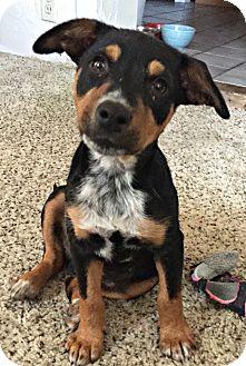 Shepherd (Unknown Type)/Australian Cattle Dog Mix Puppy for adoption in Boulder, Colorado - Bert