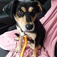 Adopt A Pet :: Love Bug - Joliet, IL