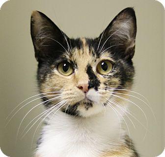 Domestic Shorthair Kitten for adoption in Cedartown, Georgia - 35426991