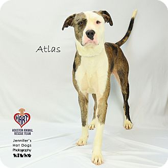 Catahoula Leopard Dog Mix Dog for adoption in Tomball, Texas - Atlas