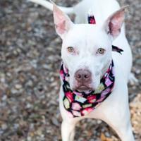Adopt A Pet :: Opie - Carrollton, TX