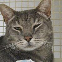 Adopt A Pet :: SHAMUS - Brea, CA