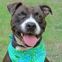 Adopt A Pet :: Jada - Raleigh, NC