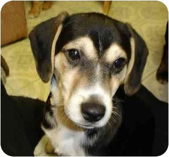 Beagle Mix Puppy for adoption in Overland Park, Kansas - Traffic Jam