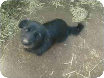 Scottie, Scottish Terrier Mix Dog for adoption in Yakima, Washington - Scotty