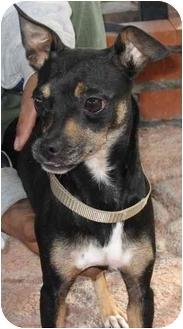 Miniature Pinscher/Chihuahua Mix Dog for adoption in Poway, California - URSULA