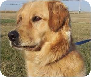 Golden Retriever Dog for adoption in High River, Alberta - Chet