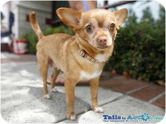 Chihuahua Dog for adoption in San Diego, California - Allie