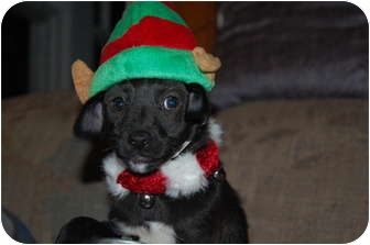 Chihuahua Mix Puppy for adoption in Hainesville, Illinois - Prancer