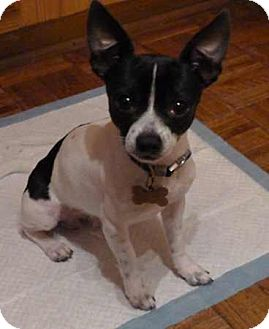 Chihuahua/Rat Terrier Mix Dog for adoption in Westport, Connecticut - Bogart