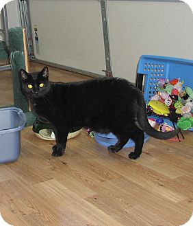 Domestic Shorthair Cat for adoption in Speonk, New York - Brody