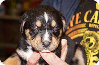 Catahoula Leopard Dog Mix Dog for adoption in Conway, Arkansas - Sable aka Stella 7
