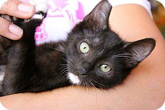 Domestic Mediumhair Kitten for adoption in Los Angeles, California - Mittens