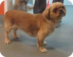 Shih Tzu Dog for adoption in Westminster, California - Joon