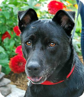 Chow Chow/Labrador Retriever Mix Dog for adoption in Loudonville, New York - Chocolate