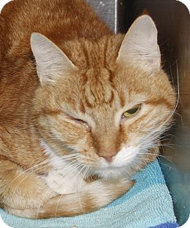 Domestic Shorthair Cat for adoption in Westminster, California - Ginger